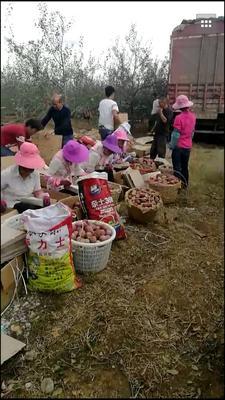这是一张关于盐源县糖心苹果 光果 片红 60mm以上的产品图片