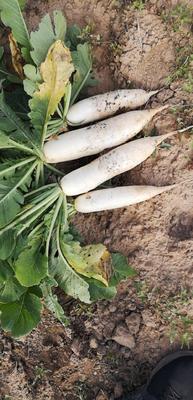 河北省张家口市张北县白萝卜 1.5~2斤