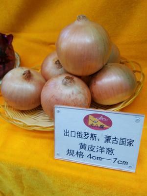 黑龙江省齐齐哈尔市建华区黄皮洋葱 8cm以上 黄皮 4两以上