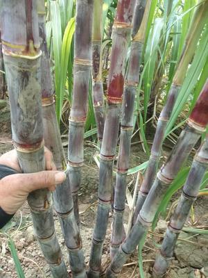 这是一张关于黑皮甘蔗 1.5 - 2m 6 - 8cm的产品图片