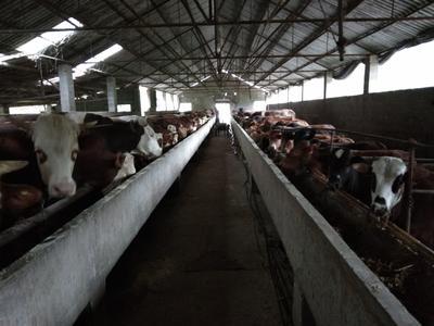 湖北省宜昌市宜都市肉牛 1000斤以上 公牛