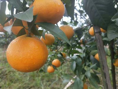 这是一张关于爱媛38号柑橘 5.5 - 6cm 4两以上的产品图片