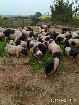 四川省泸州市泸县小香猪 60斤以上
