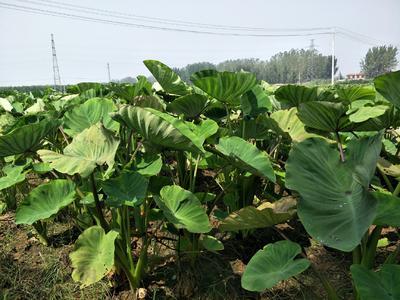 山东省枣庄市滕州市香芋 6cm以上