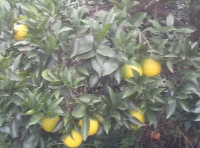 这是一张关于丹棱脐橙 70-75mm 4-8两的产品图片