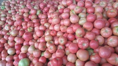 河北省唐山市乐亭县硬粉番茄 不打冷 硬粉 弧三以上