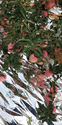这是一张关于寒富苹果 纸+膜袋 片红 75mm以上的产品图片