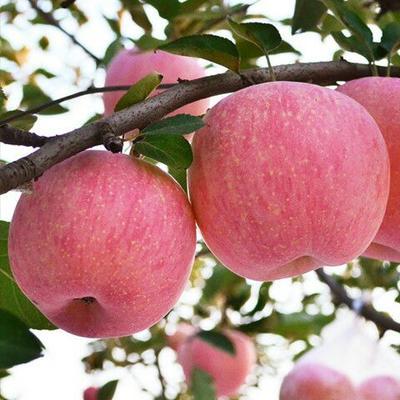 这是一张关于红富士苹果 光果 日晒面 70mm以上 的产品图片