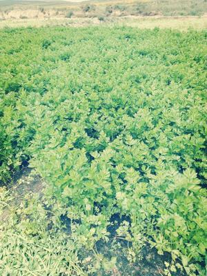 这是一张关于加州王芹菜 50~55cm 露天种植 0.5斤以下的产品图片