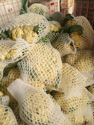 山东省聊城市东昌府区有机花菜 适中 2~3斤 乳白色