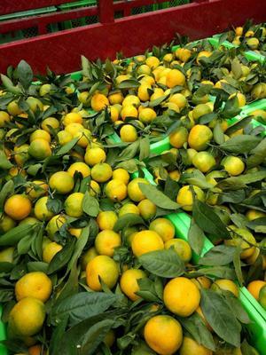 这是一张关于蜜桔 6 - 6.5cm 1.5 - 2两的产品图片