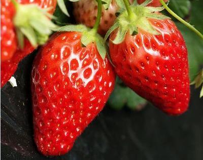 奶油草莓苗 地栽苗 20~30公分