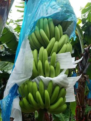 浙江省金华市东阳市西双版纳香蕉 八成熟 50 - 60斤