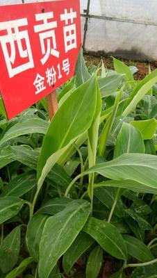 广西壮族自治区钦州市灵山县西贡蕉苗