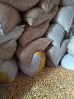 这是一张关于杂交玉米粒 霉变≤1% 杂质很少的产品图片