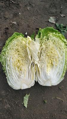 吉林省长春市农安县黄心大白菜 6~10斤 净菜