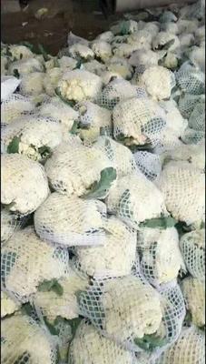 山东省聊城市东昌府区白花菜花 紧密 2~3斤 乳白色