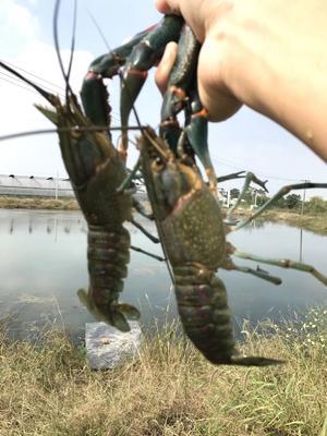 这是一张关于澳洲淡水小龙虾 人工殖养 9钱以上的产品图片