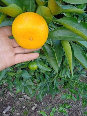 这是一张关于蜜桔 7 - 7.5cm 4两以上的产品图片