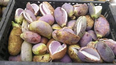 河南省河南省济源市紫色一号八月瓜 种植 70-80g