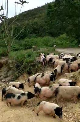 广西壮族自治区防城港市港口区巴马香猪 60斤以上