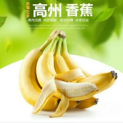 广东省茂名市高州市广东香蕉2号 七成熟 40 - 50斤
