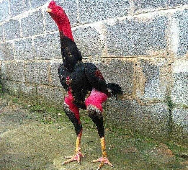 现有大量1-5斤左右纯种越南斗鸡出售,,需要**联系****