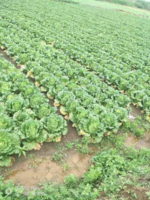 这是一张关于德高101大白菜 3~6斤 毛菜的产品图片