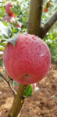 这是一张关于红富士苹果 纸袋 片红 70mm以上的产品图片