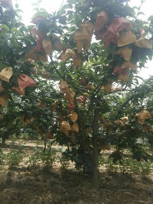 这是一张关于秋月梨 300-350g 75mm以上的产品图片