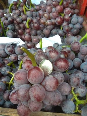 这是一张关于巨峰葡萄 5%以下 2次果 1-1.5斤的产品图片
