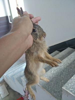 江西省抚州市东乡县杂交野兔 1-3斤