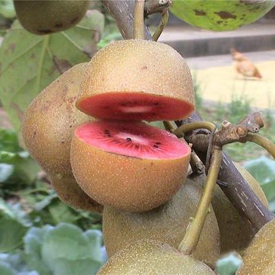 这是一张关于红阳猕猴桃苗 嫁接苗的产品图片