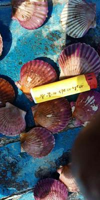这是一张关于海湾扇贝 人工殖养 20-30只/公斤的产品图片