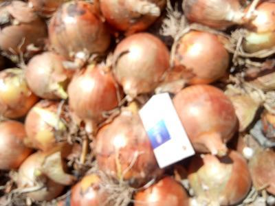 甘肃省张掖市高台县黄皮洋葱 8cm以上 黄皮 3.5~4两