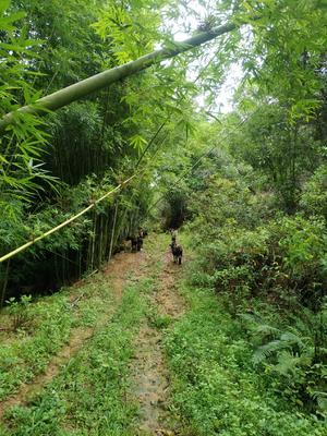 广东省惠州市惠阳区黑山羊 50-80斤
