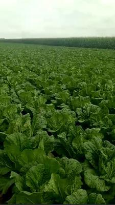 黑龙江省绥化市肇东市黄心大白菜 6~10斤 净菜
