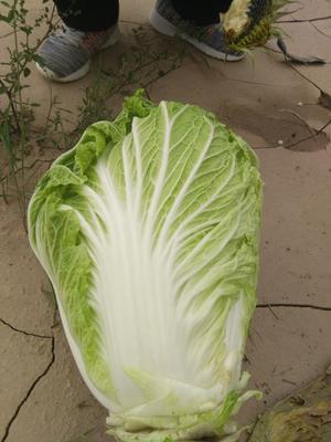 宁夏回族自治区固原市西吉县黄心大白菜 3~6斤 二毛菜