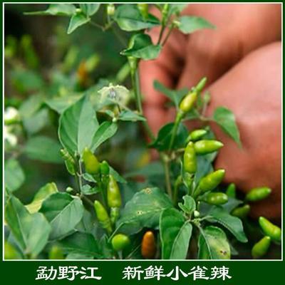 云南省昆明市盘龙区香脆小辣椒 12-18个月