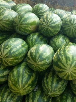 广西壮族自治区桂林市雁山区缅甸西瓜 有籽 1茬 8成熟 15斤打底