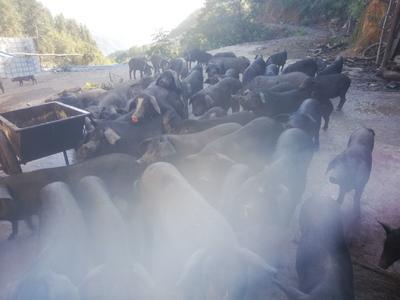 贵州省黔东南苗族侗族自治州天柱县野香猪 60斤以上