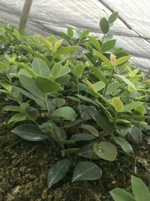 江西省新余市分宜县白茶树苗 嫁接苗 0.5米以下