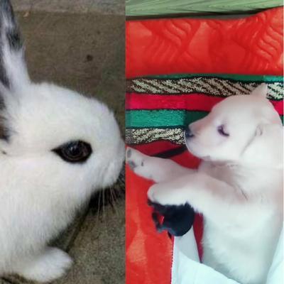 宁夏回族自治区固原市原州区獭兔种兔 5斤以上