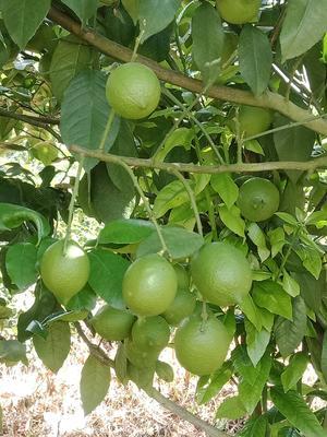 云南省德宏傣族景颇族自治州芒市尤力克柠檬 1.6 - 2两