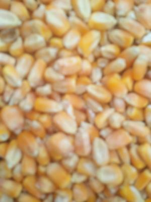 河南省南阳市邓州市玉米干粮 霉变≤1% 净货