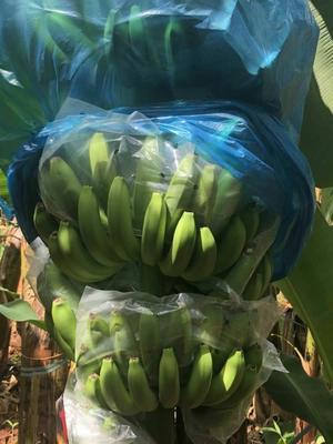 广西壮族自治区南宁市江南区广东香蕉1号 九成熟 40斤以下
