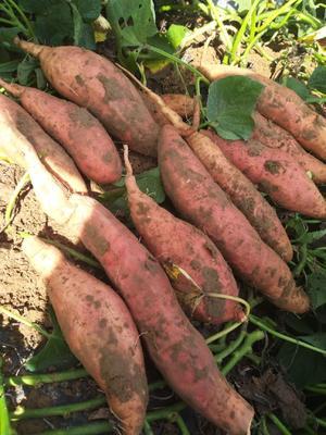 山东省德州市夏津县烟薯25 红皮 混装通货