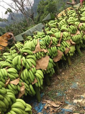 云南省红河哈尼族彝族自治州河口瑶族自治县河口香蕉 七成熟 21.0斤