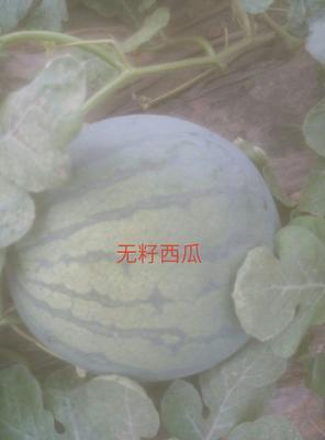山东省潍坊市昌乐县花皮无籽西瓜 无籽 1茬 8成熟 8斤打底