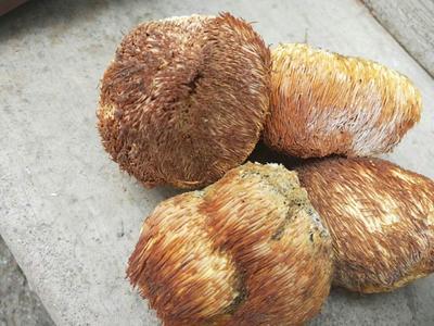 吉林省通化市通化县野生干猴头菇 袋装 1年以上
